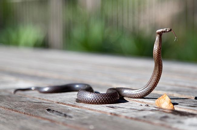 Kin Cobra found in a minivan in China