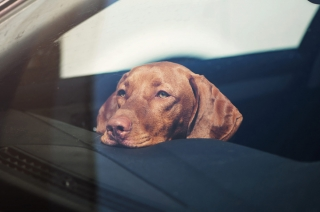 What happens when you leave your pet inside the car for too long