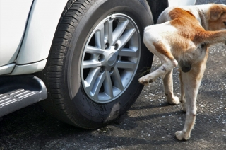 Will dog urine damage your car's wheels and tires?